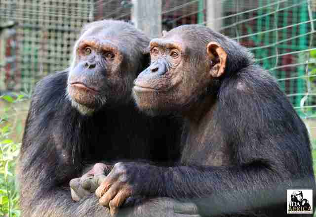 Rescued chimps wait for friends