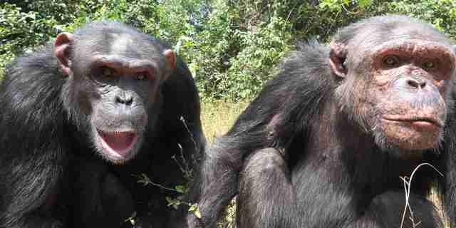 Rescued chimps in Cameroon