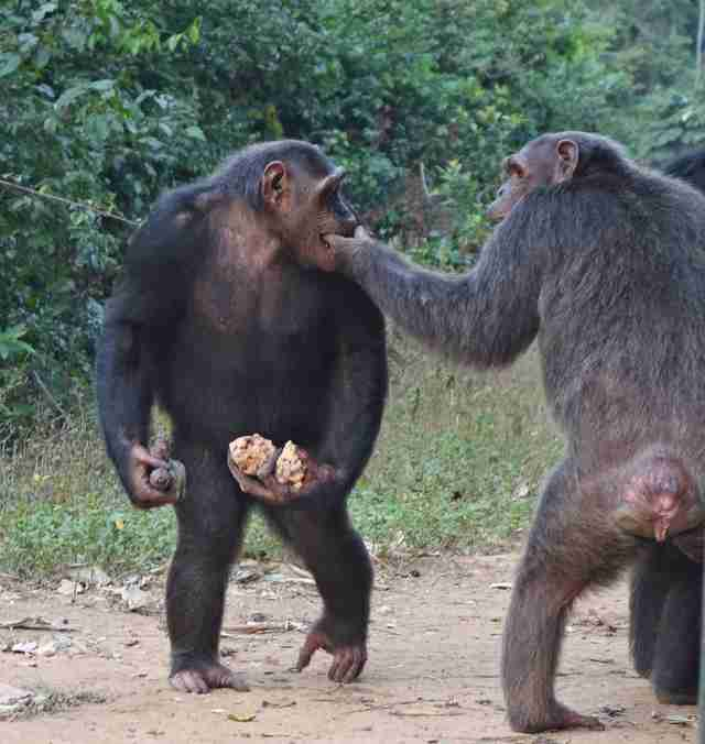 Rescued chimps eating