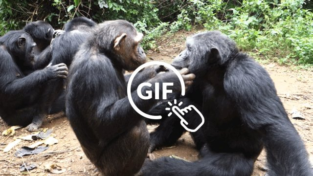 Rescued chimps groom each other