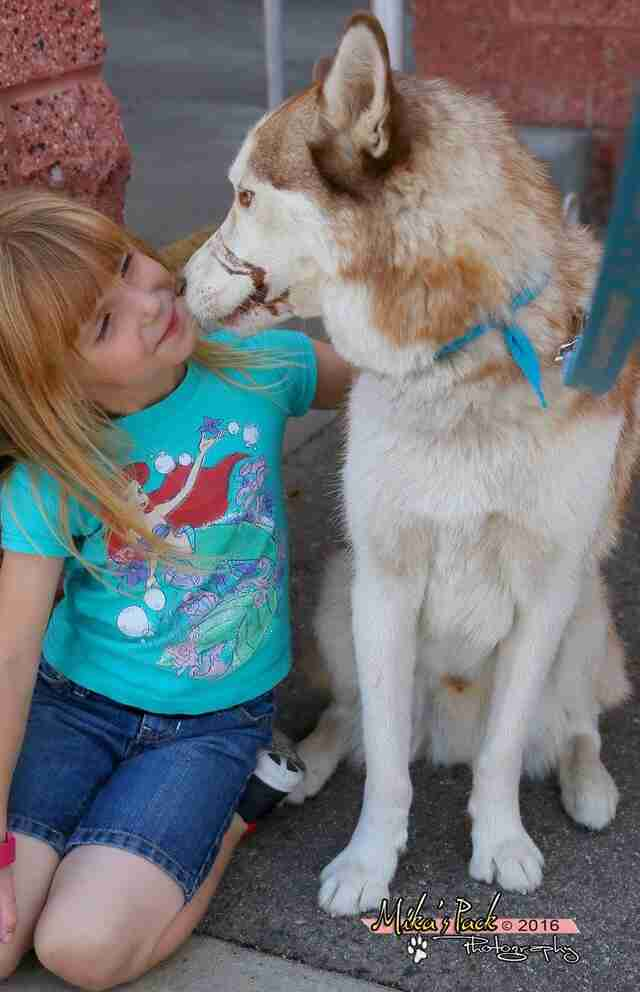 Siberian husky therapy dog