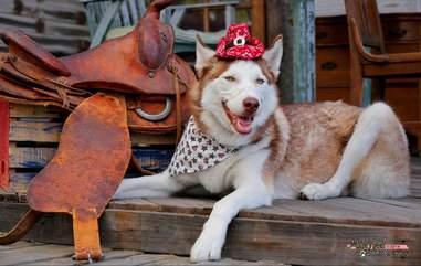 Siberian husky in costume