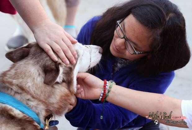 Siberian husky therapy dog