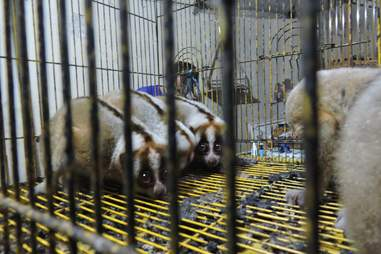 Slow lorises in cages