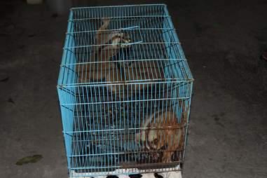 Rescued slow lorises