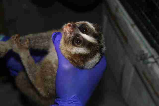 Rescued slow loris