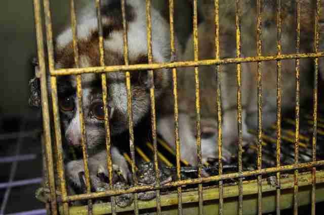 Slow loris in cage