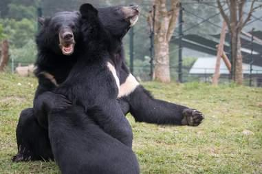 bears rescued from bile farm