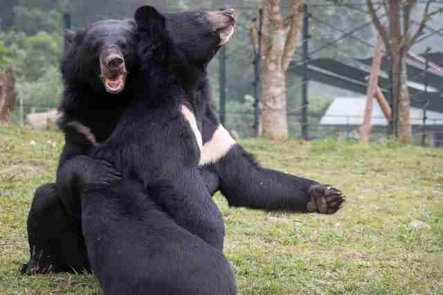 bears rescued from bile farm