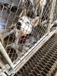 Siberian husky in shelter