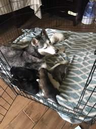 husky and puppies