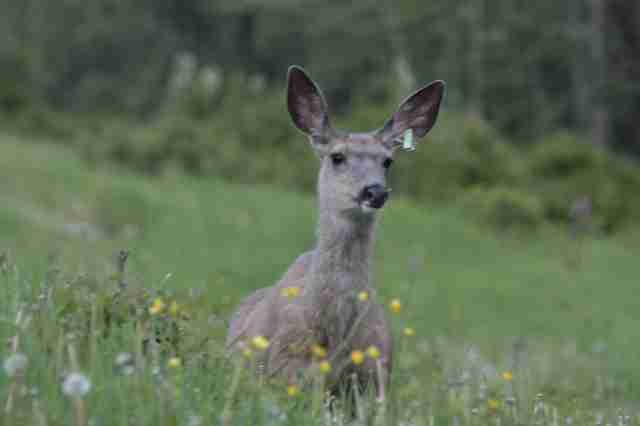 Deer saved by wildlife rehabilitators