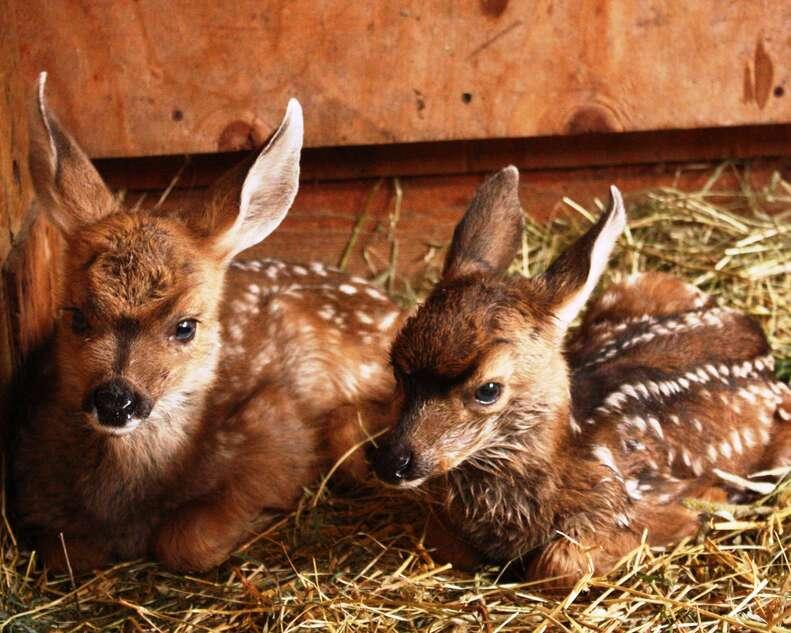 Orphaned baby deer siblings