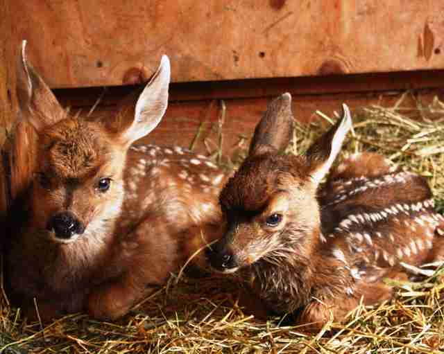 Orphaned baby deer siblings