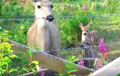 Rehabilitated deer with her twin fawns