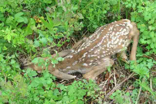 Rescued deer's fawn