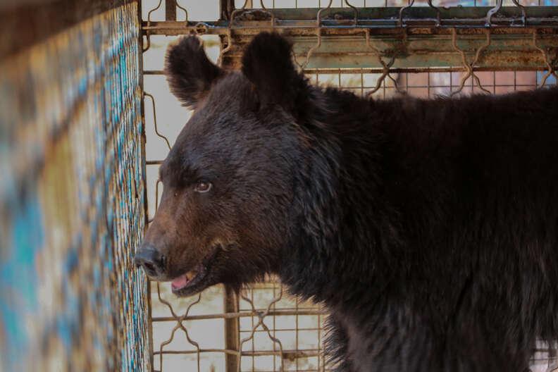 Aleppo zoo bear