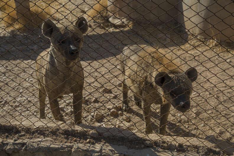 Aleppo zoo hyenas