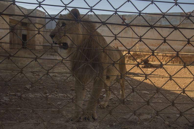 Aleppo zoo lion