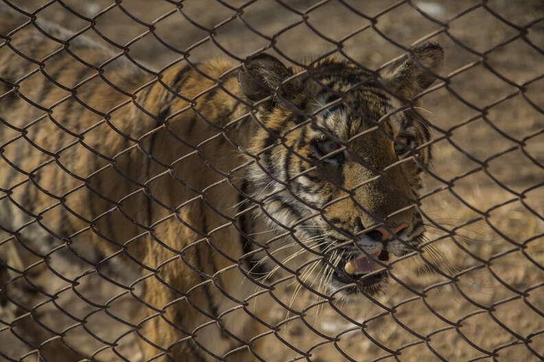 Aleppo zoo tiger