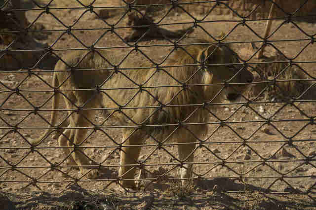 Aleppo zoo lion
