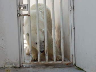 Zoo polar bear behind bars