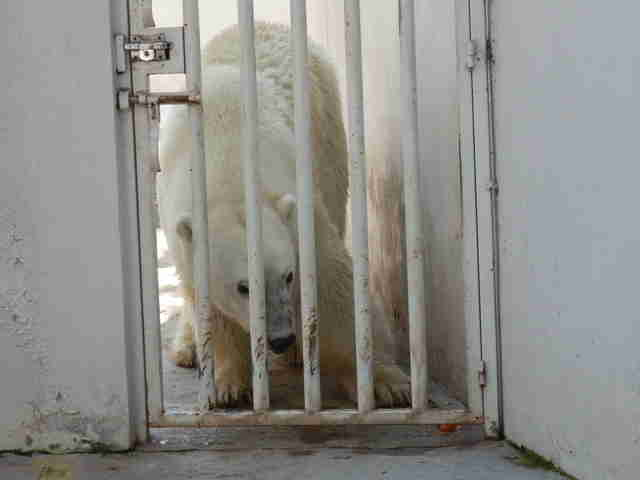Zoo polar bear behind bars