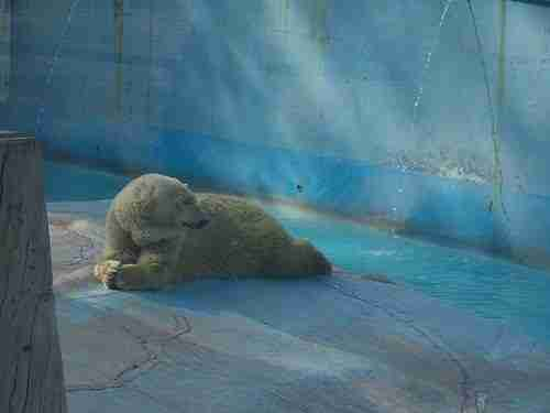 Zoo polar bear in her enclosure