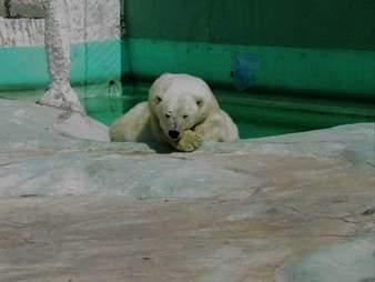 Zoo polar bear in enclosure