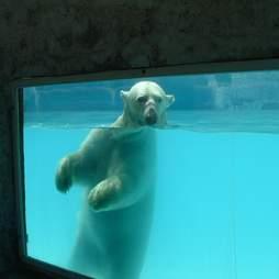 Zoo polar bear in pool