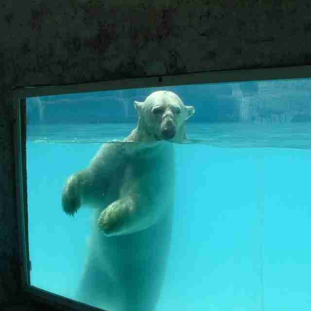 Zoo polar bear in pool