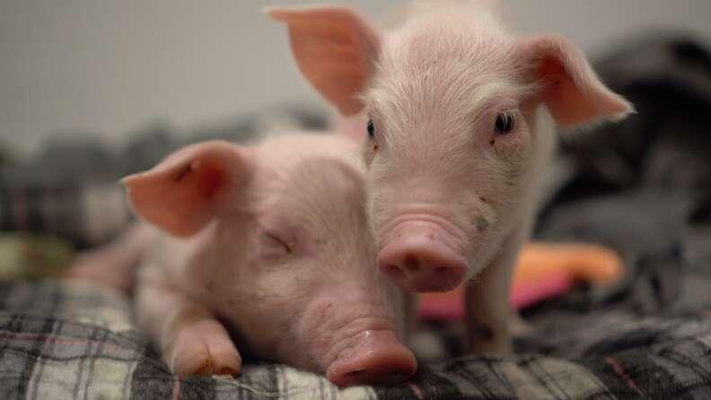 Baby piglets snuggling together