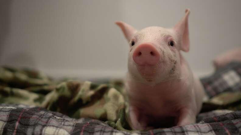 Baby piglet on blanket