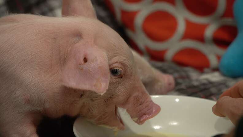 Rescued pig eating