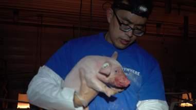 Man rescuing piglet