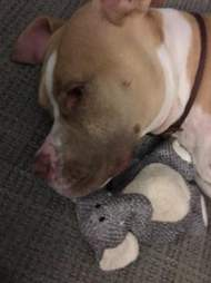 pit bull and toy