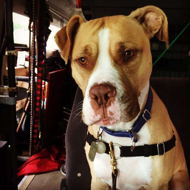 service pit bull