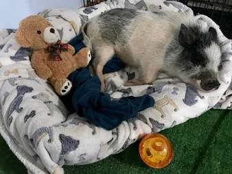 sick rescue pig