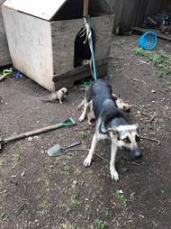 Mother dog tied to house