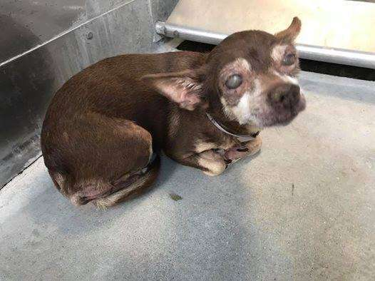 Blind senior Chihuahua in kennel
