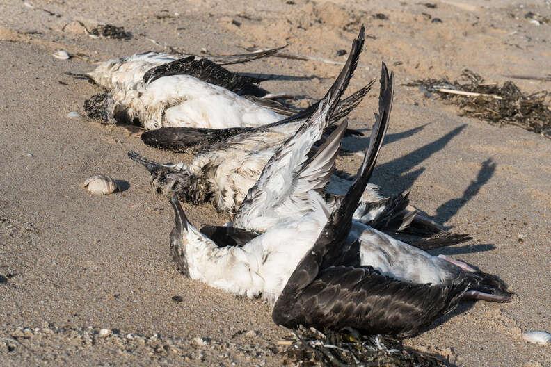 Dead shearwater seabirds on New York beach