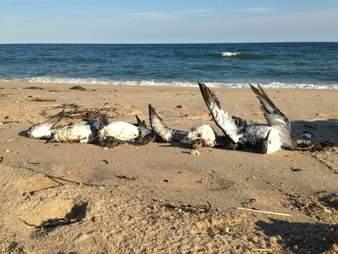 Dead shearwaters on beach