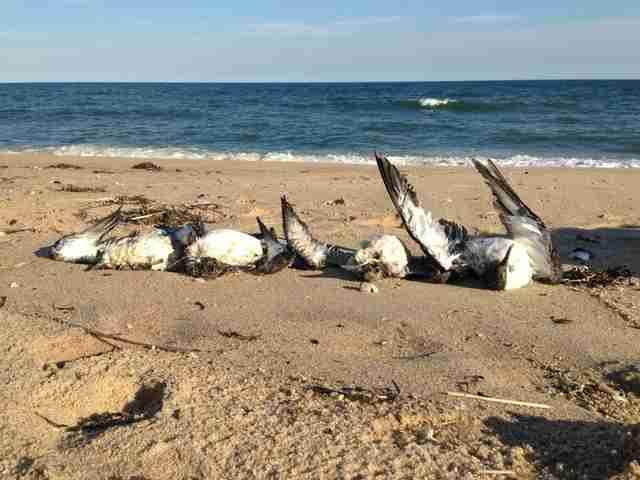 Dead shearwaters on beach