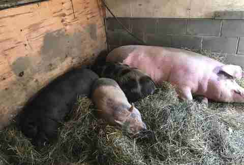 pigs nap with injured friend
