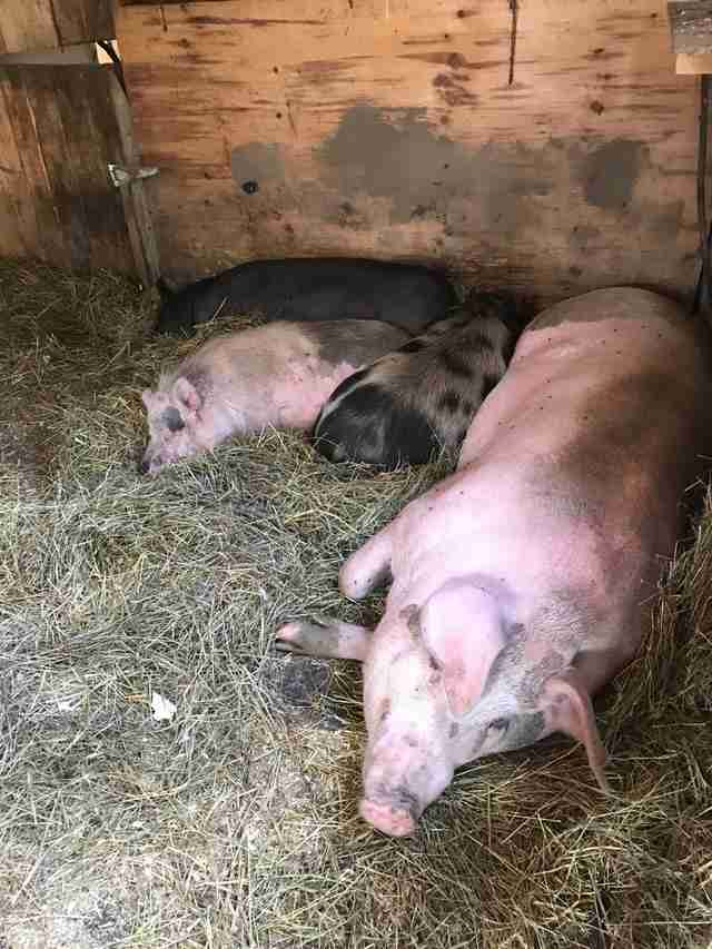 pigs resting together at sanctuary