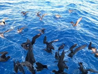 Shearwaters feeding in ocean
