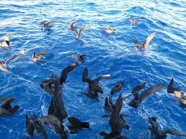 Shearwaters feeding in ocean