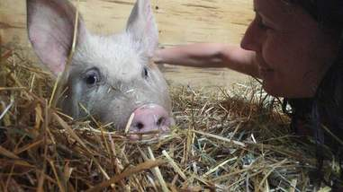 pig saved from slaughter