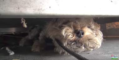 lost yorkie found at gas station