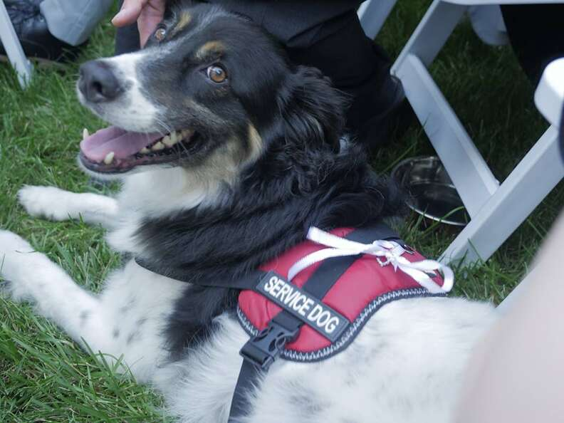 Rescue dog in service vest